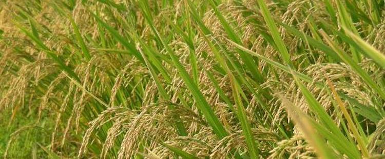Photo: Rice is the staple food in many Asian countries. Weed killers containing Glyphosate are used in rice cultivation too. UN IARC claims Glyphosate as a substance capable of causing disease in living tissue. Credit: www.agrifarming.in