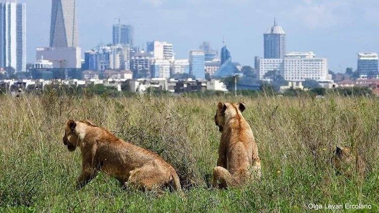 "Photo: Nairobi National Park is the only national park in the world that shares a fence with a city. It boasts of abundant wildlife, including the ""big five"" animals – the lion, leopard, rhinoceros, elephant and buffalo. Credit: Olga Lev-Ari Ercolano"