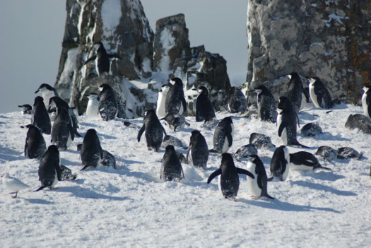 Photo: Penguins await the snow to melt so they can start nesting. Credit: IAATO.