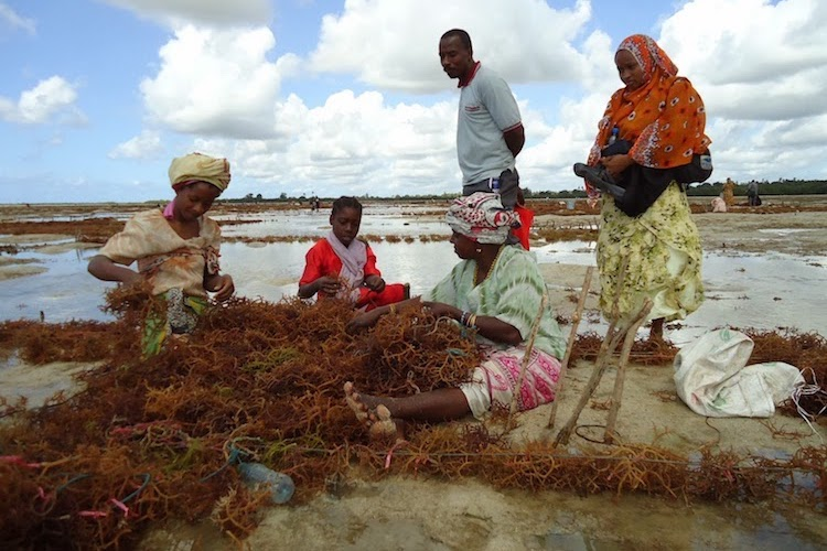Photo: Seaweed farmers. Credit: Mwinyi Sadallah