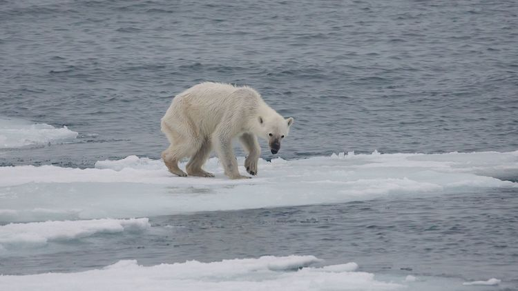 Photo: As the climate change melts sea ice, the U.S. Geological Survey projects that two-thirds of polar bears will disappear by 2050. CC BY-SA 4.0